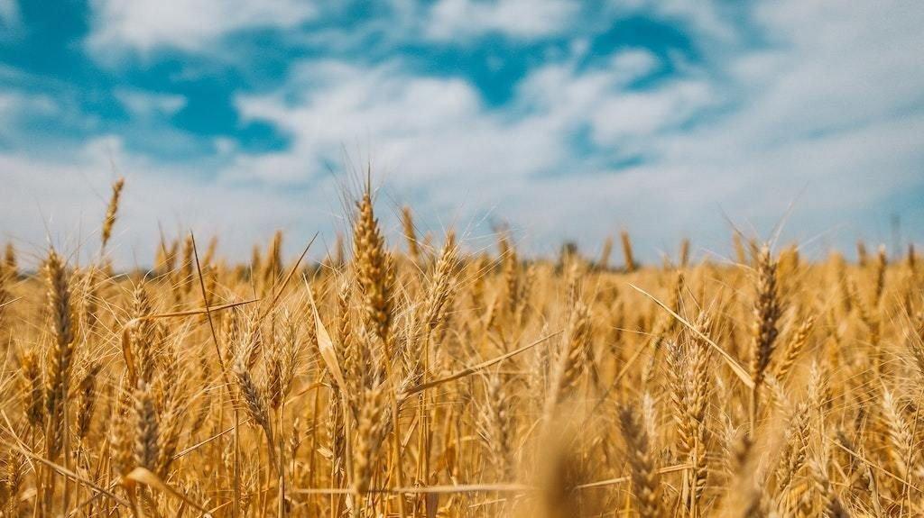 Couscous, blés et céréales